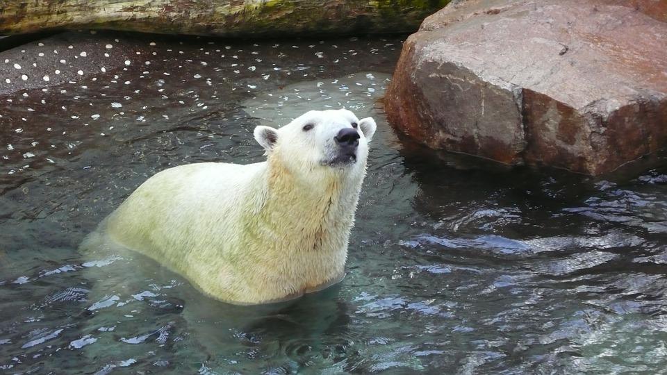 ホッキョクグマ 白クマ 水族館 海遊館 水の世界